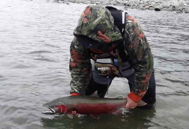 Steelhead in full spawning colors