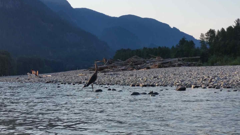 Great blue herron bc fishing reports pemberton fish finder for Blue river fishing report