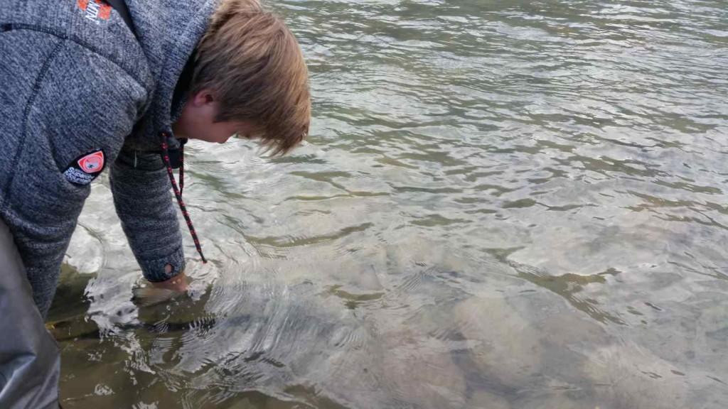 Releasing a wild Coho Salmon