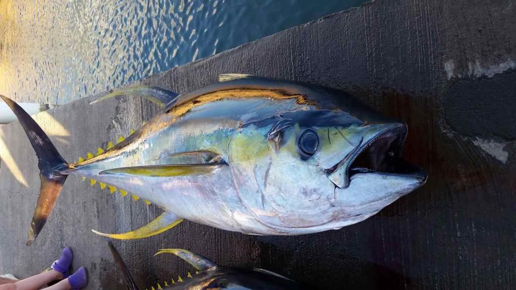 Fishing charters oahu hawaii for Ahi tuna fish