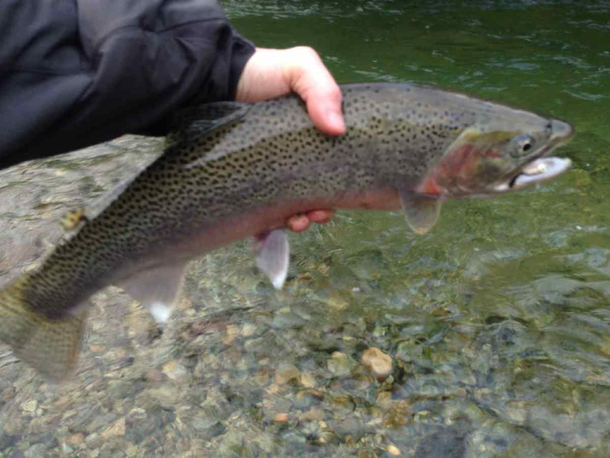 Winter fly fishing upper lillooet river in pemberton bc for Trouts fly fishing reports