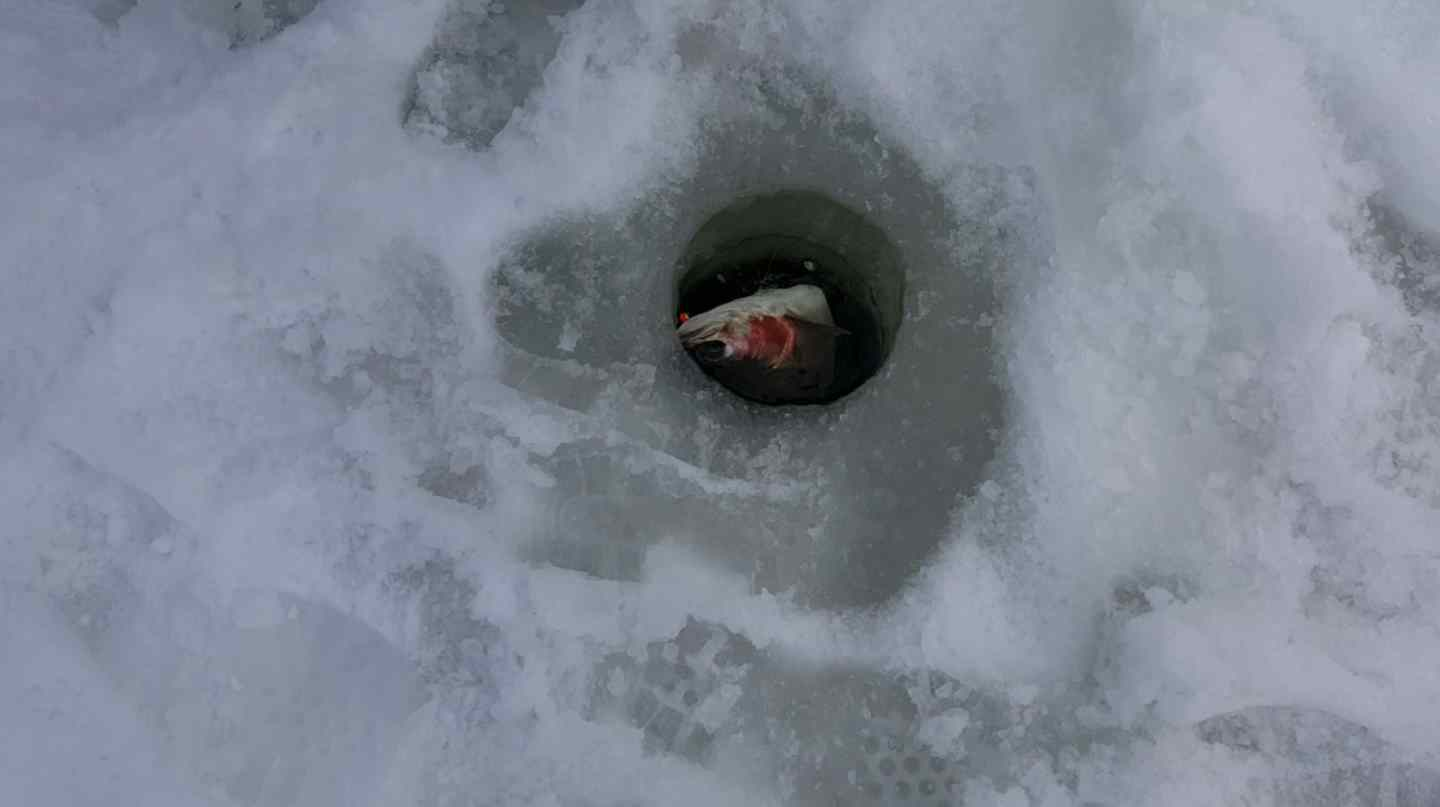 Big rainbow trout in an ice fishing hole bc fishing for Ice fishing hole