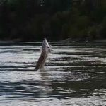 7 foot Sturgeon jumping